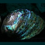Paua-Muschel